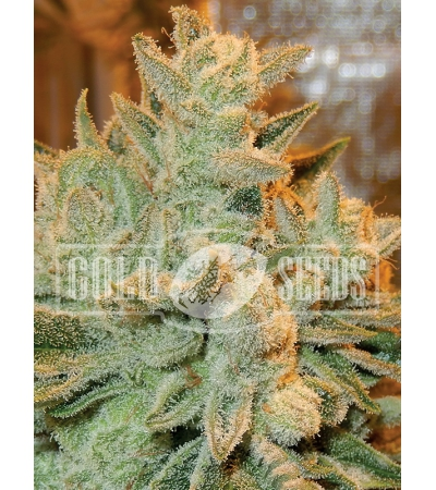 ANESIA SEEDS - Betty Auto