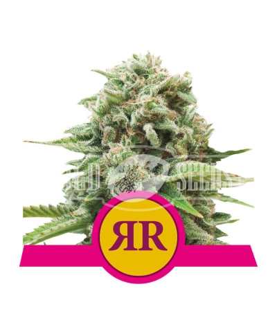 Royal Runtz - ROYAL QUEEN SEEDS