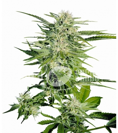 SENSI SEEDS - Big Bud®